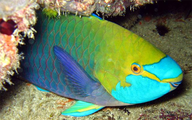 Parrotfish_Animal
